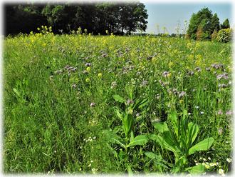 Das Feld, wo Büschelschön & Raps Insekten zum Pollenschmaus einladen