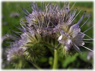 Die Blüte des Büschelschöns