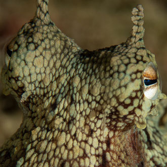 Auge in Auge mit dem Kraken (Octopus vulgaris), der nicht so recht weiss, ob er sich annähern oder flüchten soll. © Robert Hansen, Gozo, Oktober 2020