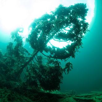 Unterwassertanne. © Robert Hansen, Samarangersee, August 2020