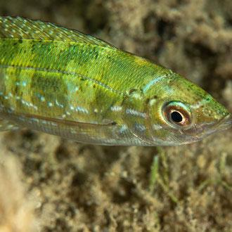 Ein Fünffleckiger Lippfisch (Symphodus roissali)? Eindeutig zuordnen kann ich das scheue Tier nicht. © Robert Hansen, Gozo, Oktober 2020