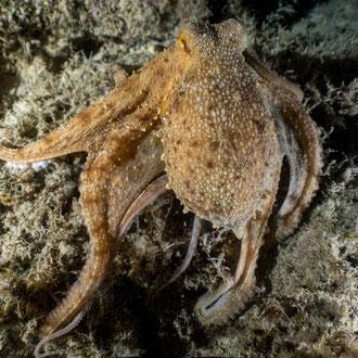 Die Fangarme des Kraken (Octopus vulgaris) gleiten über den Fels. © Robert Hansen, Gozo, Oktober 2020