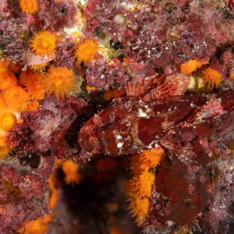 Der Kleine Rote Drachenkopf (Scorpaena notata) ist auf dem gleichfarbenen Untergrund kaum auszumachen. © Robert Hansen, Gozo, Oktober 2020
