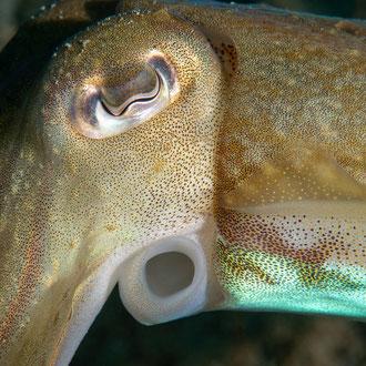 Der Tintenfisch (Sepia officinalis) posiert nahe der Kamera im Profil. © Robert Hansen, Gozo, Oktober 2020