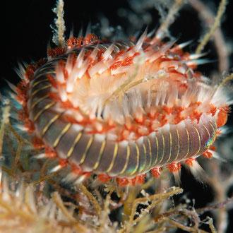 Der Feuerwurm (Hermodice carunculata) frisst Korallen, Anemonen, Schlangensterne und Aas. © Robert Hansen, Gozo, Oktober 2020