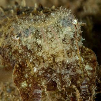 Der Tintenfisch (Sepia officinalis) mit seinen acht Armen, die versteckten beiden Fangarme bereit für die Beute. © Robert Hansen, Gozo, Oktober 2020