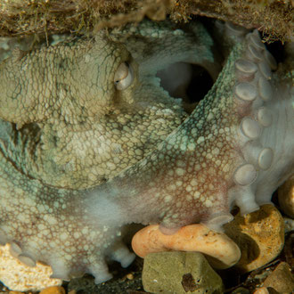 Der Krake (Octopus vulgaris) kann mit den Steinen blitzschnell seine Höhle verbarrikadieren. © Robert Hansen, Gozo, Oktober 2020