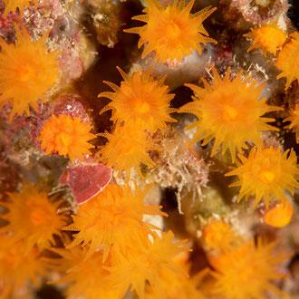 Die filigranen Krustenanemonen (Parazoanthus axinellae) in ihrer Farbenpracht. © Robert Hansen, Gozo, Oktober 2020