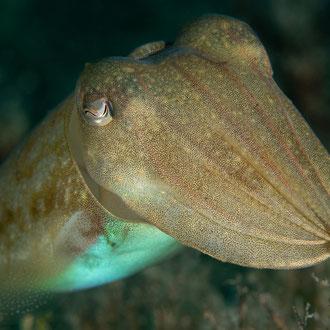 Der Tintenfisch (Sepia officinalis) zeigt sein Repertoire an Formen und Farben. © Robert Hansen, Gozo, Oktober 2020