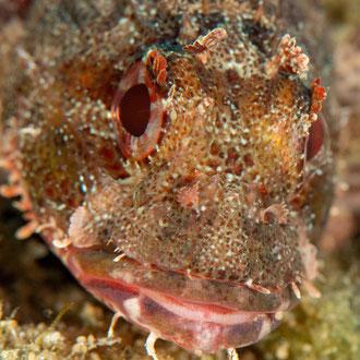Auge in Auge mit dem Kleinen Roten Drachenkopf (Scorpaena notata). © Robert Hansen, Gozo, Oktober 2020