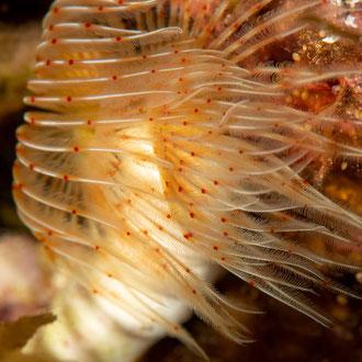 Der Glatte Kalkröhrenwurm (Protula tubularia) lässt seine Tentakel in der Strömung schweben. © Robert Hansen, Gozo, Oktober 2020