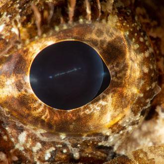 Auch das Auge des Braunen Drachenkopfes (Scorpaena porcus)  in Tarnfarben. © Robert Hansen, Gozo, Oktober 2020
