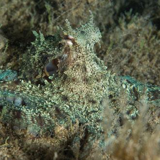 Perfekt getarnt wartet der Krake (Octopus vulgaris) während der Nacht auf Beute. © Robert Hansen, Gozo, Oktober 2020