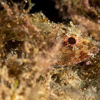 Der kleine Rote Drachenkopf (Scorpaena notata) lauert zwischen Pflanzenbüschlen auf Beute. © Robert Hansen, Gozo, Oktober 2020