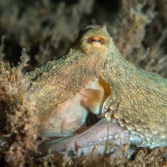 Der Krake (Octopus vulgaris) kann Farbe und Form innerhalb von Sekundenbruchteilen verändern. © Robert Hansen, Gozo, Oktober 2020