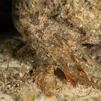 Der Braune Drachkopf (Scorpaena purcus) hebt sich kaum vom bewachsenen Stein ab. © Robert Hansen, Gozo, Oktober 2020