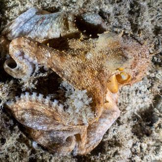 Der Krake (Octopus vulgaris) beim Nachtauchgang auf Beutezug. © Robert Hansen, Gozo, Oktober 2020