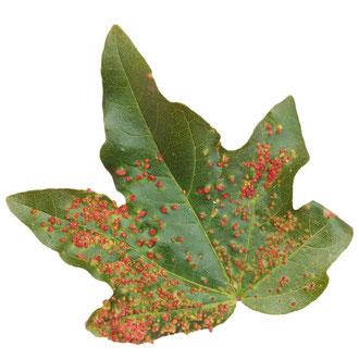 Blattgallen durch Befall von Gallmilben. Blattoberseite