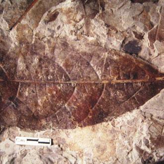 Persea speciosa. Museo Capellini. Foto di Carla Garavaglia