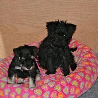 Amelia and Miniature Schnauzer puppy Humphrey Bogart von den Leutermännern (photo by Klaus Leutermann)