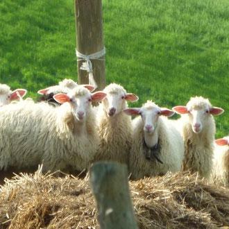 丘の上には羊達の群れ トスカーナ修道院めぐり モンテオリベートマッジョーレ修道院