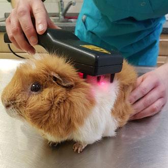 Meerschweinchen Balduin genießt die Behandlung mit dem Therapie-Laser
