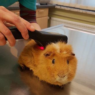 Meerschweinchen Balduinbei der Laser-Therapie gegen seine Rückenschmerzen