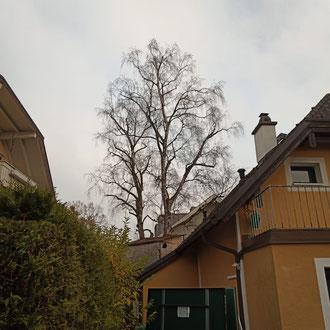 Kroneneinkürzung an einer Birke in Salzburg Leopoldskron - nachher