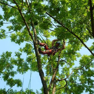 Totholzpflege an einer Esche