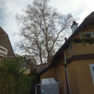 Kroneneinkürzung an einer Birke in Salzburg Leopoldskron - vorher