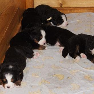 Balou mit seinen Geschwistern 3,5 Wochen