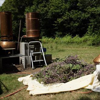 Distillation de sauge sclarée