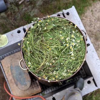 Camomille romaine prête à être distillée !