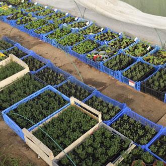 Boutures (géraniums, thyms, menthe verte)