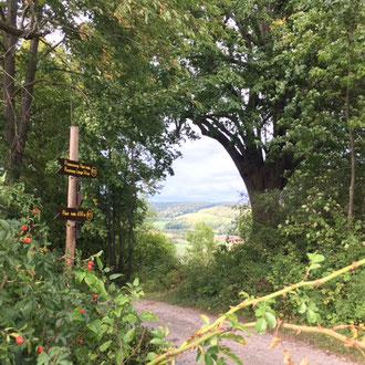 """Naturdenkmal """"Lindenbaum"""", etwa 500 Jahre alter Hutebaum oder Reformationsbaum am P21 Point India und Familienpfad Point India."""
