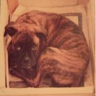 Baffie - unser erster Boxer