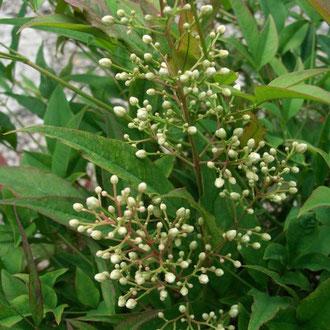 Blüte Nandina domestica