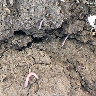 Regenwürmer brechen verdichteten Boden