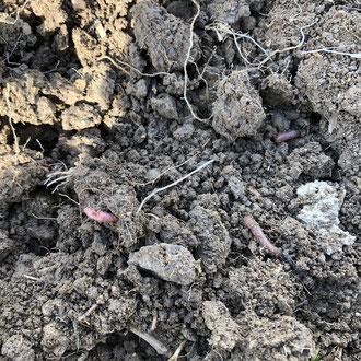 Regenwürmer im Ackerboden vor der Maisaussaat