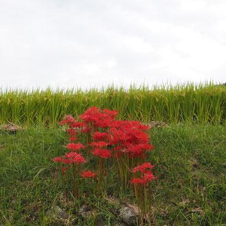 彼岸花の赤