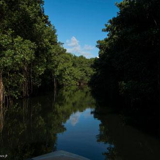 Les eaux tranquilles du canal des Rotours. Chaque bosquet constitue un îlot sans terre ou les racines s'enchevêtrent les unes aux autres