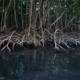Palétuvier rouge plongeant ces racines dans l'eau de mer