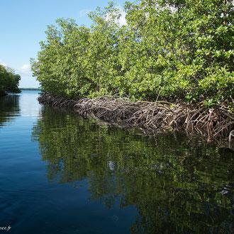 Sortie de la mangrove vers le large de Grand Cul-de-sac-marin. Véritable barrière protégeant le littoral des tempêtes