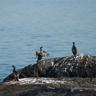 Irlande, Connemara, Lettermullen, baie de Galway, le printemps des cormorans