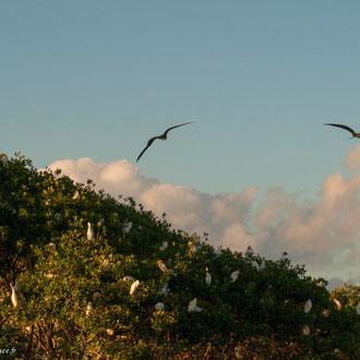 Vol de Frégate. C'est l'oiseau le plus majestueux en mer
