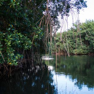 Les racines-échasses se constituent pour puiser dans la vase de la mangrove les nutriments nécessaires à la stabilité et au développement de l'arbre