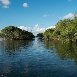 Côté gauche un bosquet maritime, à droite l'ilet ensablé. C'est le seul endroit où nichent les trois espèces en cette région.