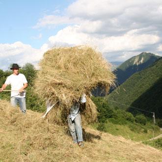 transport des bourras jusqu'à la grange