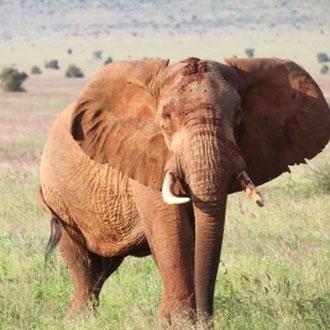 Elefant, Amboseli-Nationalpark, Kenia, Afrika
