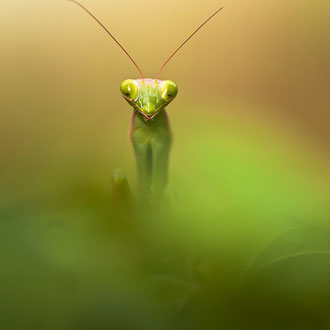 <h3>JUNGLE MANTIS </h3><p>LAUREAT PHOTO PASSION 2014 POUR ETRE EXPOSE AU SALON DE LA PHOTO A PARIS</p>